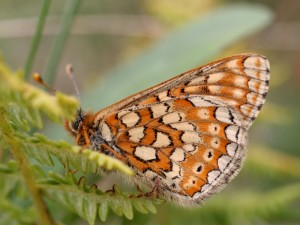 Marsh fritillary (Liam Lysaght)